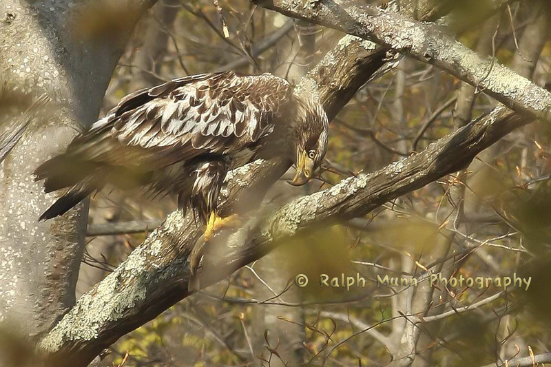 Eagle With Trout, Rowe MA