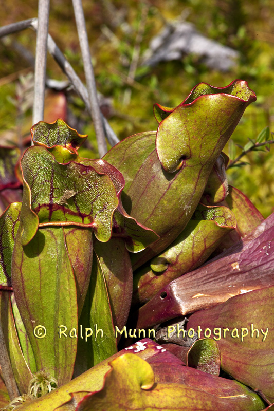 Northern Pitcher Plants 1